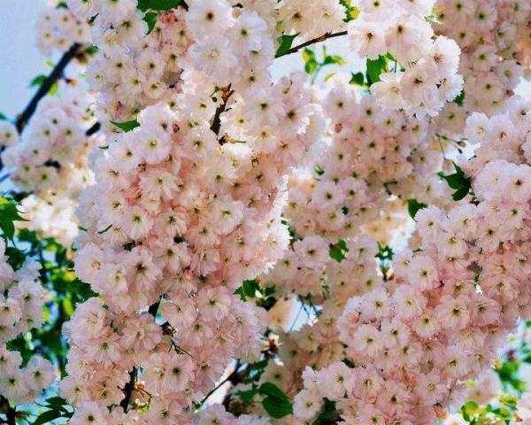 pembe ağaç çiçekleri