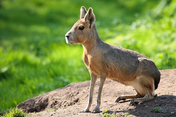 Patagonya tavşanı