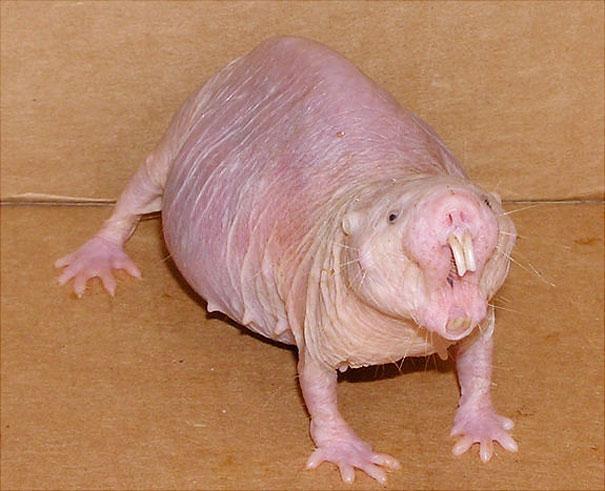 Tüysüz köstebek faresi