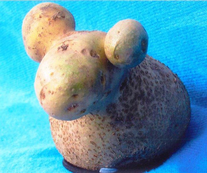 Küçük bir patates kuzusu